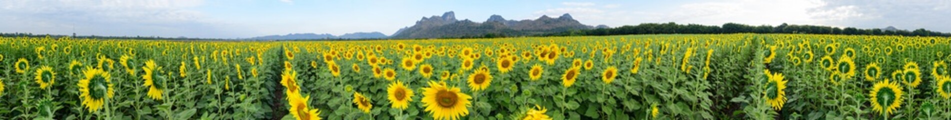 360 degree panorama of Sunflower field at the mountain