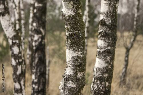 close-up of birch trunks
