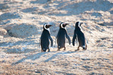 Three penguins looking back over their right shoulder