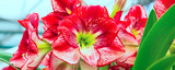 Panoramic banner holiday or birthday background with red lily flower blossom closeup