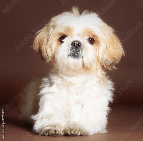 Poster Shih Tzu dog
