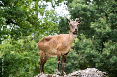 Poster Chèvre sur un rocher