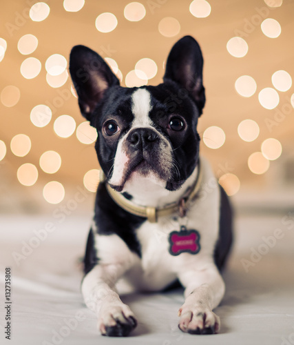Foto op Canvas Franse bulldog Boston Terrier Bokeh Lights