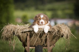 Cachorro de Pastor Australiano en carretilla