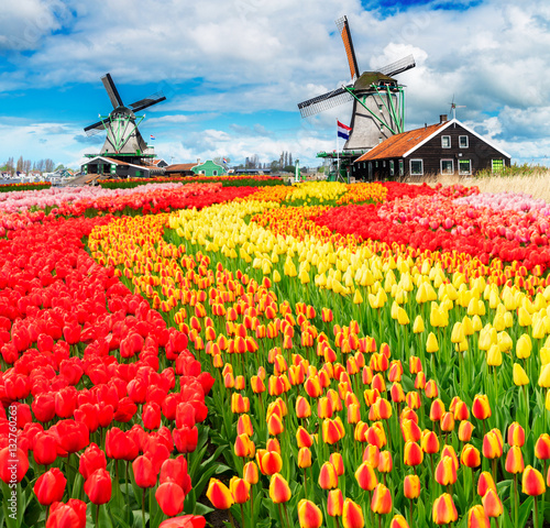 Poster two traditional Dutch windmills of Zaanse Schans and rows of tulips, Netherlands
