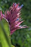 Bromeliad flowery