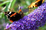 Butterfly on violet flower