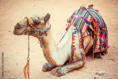 Poster Bedouin camel rests on sand near the treasury of Al Khazneh