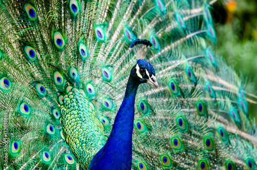 Aluminium Pauw Portrait of a peacock with feathers spread open.