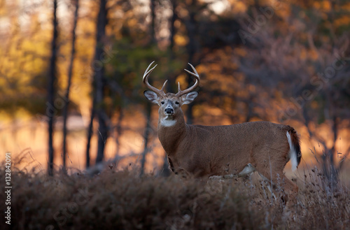In de dag Hert White-tailed deer buck at sunset in autumn rut in Canada