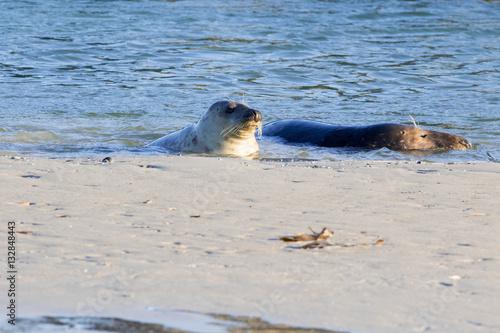 Foto op Canvas Noordzee Robben