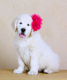 White joyful puppy with a pink flower on her head. Labrador Retriever with his tongue hanging out. Dog fluffy and beautiful. Cute pet. Portrait of retriever.