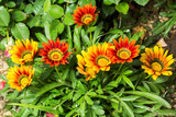 Gazania flowers colored yellow and Red