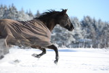 running wild, beautiful black quarter horse wearing a blanket and running fast through snow - 132857413
