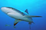 tiburón gris de arrecife en Bahamas