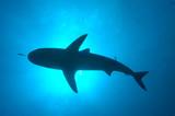 Tiburones de arrecife en Bahamas