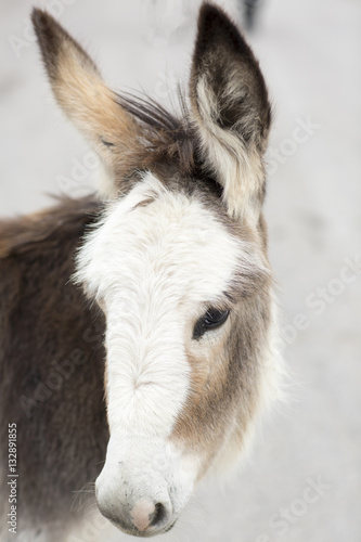 Wild donkey is in a small town. Portrait of animal close-up. Poster