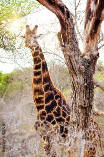 Poster Giraffe With Sun Flare