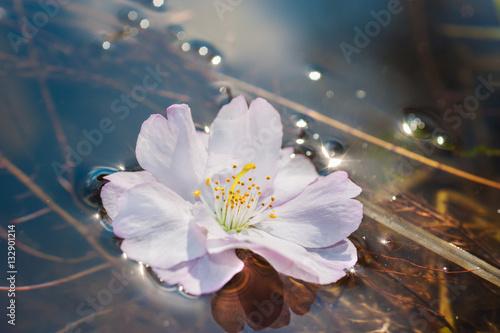 Poster Sakura flower floating on the water