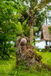 Kokosnuss in Baumstumpf
