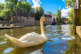 Swan in a canal in Bruges