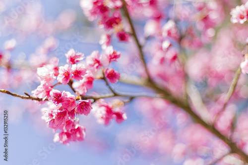 Poster Beautiful Cherry Blossom or Sakura flower background, Soft focus