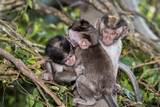 baby newborn Indonesia macaque monkey ape portrait