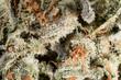 Mob Boss cannabis weed close-up