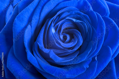Obraz Blue rose petals as background