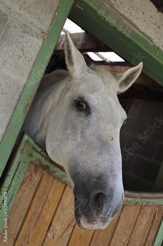 Poster cheval dans box écurie
