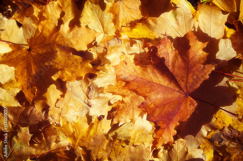 Foto op Canvas Baksteen Texture of autumn maple leaves