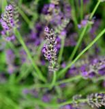 blossomed flower of lavender