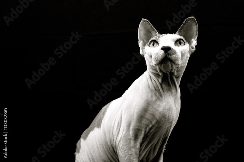 Beyonce.  Sphynx Cat. Focused.  Black and White Poster