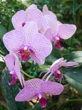 Purple orchids / Tropical orchids / Thai orchids