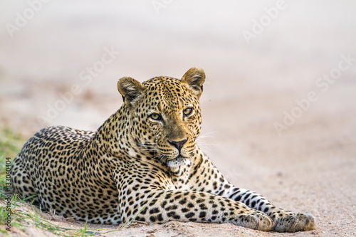 Poster Leopard in Yala national park, Sri Lanka