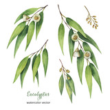 Fototapety Watercolor hand painted vector set with eucalyptus leaves and branches.