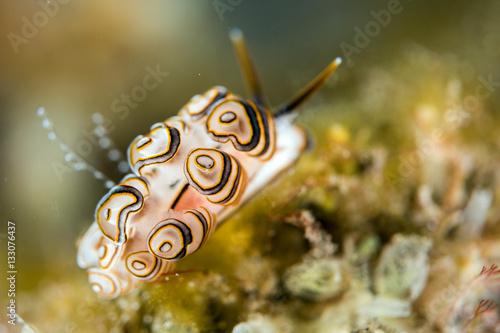 Poster Colorful donut nudibranch close up macro detail