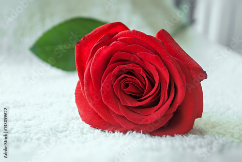 Poster Beautiful big red rose close up