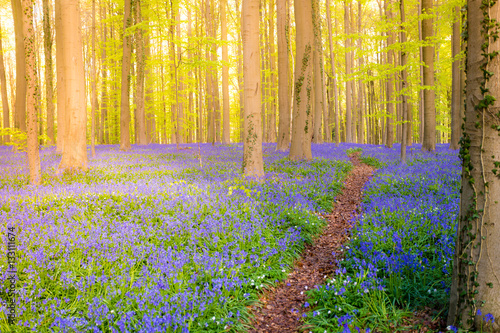 Fotobehang Betoverde Bos Halle, enchanted forest of blue bells flowers near Bruxelles, Belgium