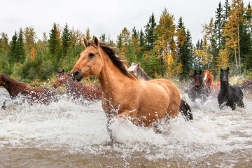 Horses Crossing a River in Alberta, Canada