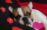 Valentine's Day French Bulldog