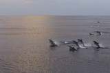 Dolphins are pursuing a flock of fish at sunset.