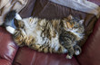 Fluffy, large overweight cat lying on back on couch exposing sto