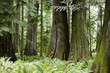 MacMillan Provincial Park Cathedral Grove Vancouver Island