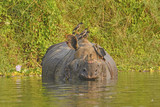 Jungle Mynas on an Indian Rhino