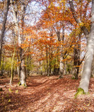 autumn colorful forest with fallen leaves on trail and clear sky in Male Karpaty mountains in Slovakia