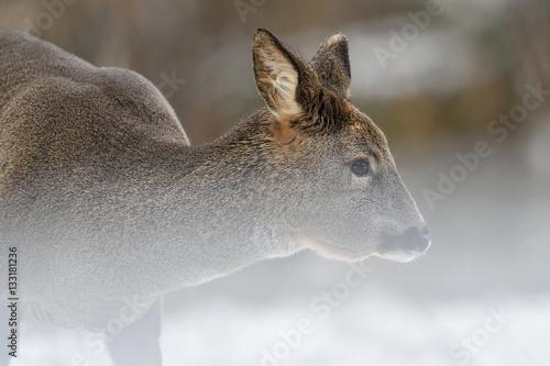 Roe deer portrait in snow - 133181236