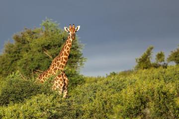 Impressive giraffe in the bush, golden afternoon light, facing, Kruger National Park, South Africa