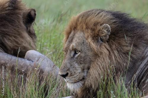 Foto op Plexiglas Krokodil Impressive male Lion resting in the grass, Kruger National Park, South Africa