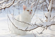 Maine Coon white cat in the wild snow